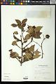 View Syzygium uniflorum Merr. & L.M. Perry digital asset number 0