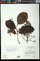 View Syzygium clusiifolium (A. Gray) Müll. Stuttg. digital asset number 0