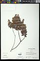 View Decaspermum fruticosum J.R. Forst. & G. Forst. digital asset number 0