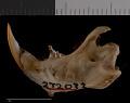 View Thomomys mazama glacialis digital asset number 3