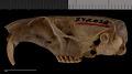 View Thomomys mazama pugetensis digital asset number 9