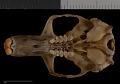 View Thomomys mazama pugetensis digital asset number 10