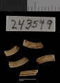 View Thomomys talpoides relicinus Goldman, 1939 digital asset number 3