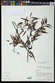 View Mabea angustifolia Spruce ex Benth. digital asset number 1