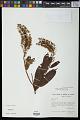 View Mabea fistulifera subsp. fistulifera digital asset number 1