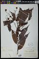 View Mabea nitida Spruce ex Benth. digital asset number 1