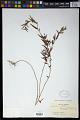 View Sebastiania commersoniana (Baill.) L.B. Sm. & Downs digital asset number 1