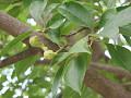 View Magnolia kobus DC. digital asset number 2