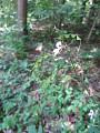 View Hylodesmum nudiflorum (L.) H. Ohashi & R.R. Mill digital asset number 3