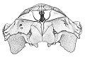 View Balaenoptera acutorostrata Lacepede, 1804 digital asset number 3