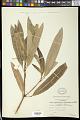 View Codiaeum codiaeum (Roxb.) Merr. digital asset number 1