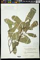 View Codiaeum peltatum P.S. Green digital asset number 1