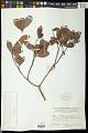 View Baloghia alternifolia Baill. digital asset number 1
