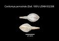 View Cardiomya perrostrata (Dall, 1881) digital asset number 1