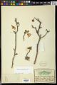 View Manihotoides pauciflora (Brandegee) D.J. Rogers & Appan digital asset number 1