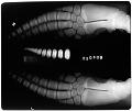 View Delphinus delphis (Linnaeus, 1758) digital asset number 0