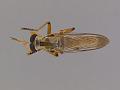 View Orophotus pilosus digital asset number 3