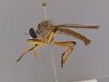 View Orophotus pilosus digital asset number 2
