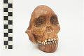 View Taung Child, Fossil Hominid digital asset number 13