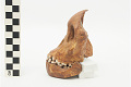 View Taung Child, Fossil Hominid digital asset number 15