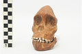 View Taung Child, Fossil Hominid digital asset number 16