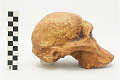 View STS 5, Fossil Hominid digital asset number 1