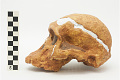View STS 5, Fossil Hominid digital asset number 2