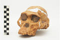 View STS 5, Fossil Hominid digital asset number 3