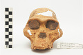 View STS 5, Fossil Hominid digital asset number 4