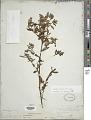 View Ludwigia leptocarpa (Nutt.) H. Hara digital asset number 1