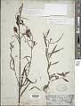 View Ludwigia longifolia (DC.) H. Hara digital asset number 1
