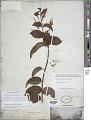 View Fuchsia regia (Vell.) Munz subsp. regia digital asset number 1
