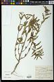 View Euphorbia gaudichaudii Boiss. digital asset number 1
