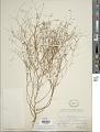 View Gayophytum diffusum subsp. parviflorum F. H. Lewis & Szweyk. digital asset number 1