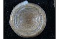 View Ammodiscus, Foraminifera digital asset number 1