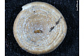 View Ammodiscus, Foraminifera digital asset number 3
