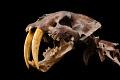 View Smilodon californicus digital asset number 1
