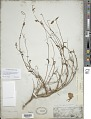View Clarkia tenella subsp. tenuifolia (Cav.) D.M. Moore & H. Lewis digital asset number 1