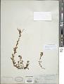 View Epilobium billardierianum Ser. subsp. billardierianum digital asset number 1
