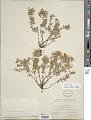 View Epilobium suffruticosum Nutt. ex Torr. & A. Gray digital asset number 1