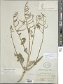 View Chylismia brevipes subsp. arizonica (P.H. Raven) W.L. Wagner & Hoch digital asset number 1