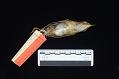 View Brachypteryx leucophrys carolinae digital asset number 0