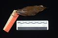 View Brachypteryx leucophrys carolinae digital asset number 2