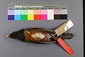 View Turdus celaenops Stejneger digital asset number 2