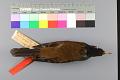 View Turdus celaenops Stejneger digital asset number 4