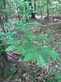 View Asimina parviflora (Michx.) Dunal digital asset number 1