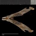 View Heteromys catopterius Anderson & Gutierrez, 2009 digital asset number 2