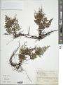 View Abrodictyum sprucei (Baker) Ebihara & Dubuisson digital asset number 1