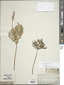 View Botrychium virginianum (L.) Sw. digital asset number 1