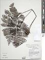View Trichomanes resinosum R.C. Moran digital asset number 1